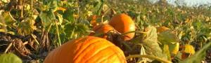pumpkinfield3